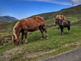 Wild horses in the Pyrenees