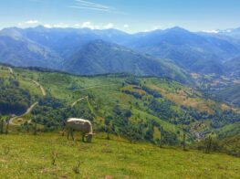 col d'Aspin summit view. Cow eating grass in the field with Pyrenees mountains in the background