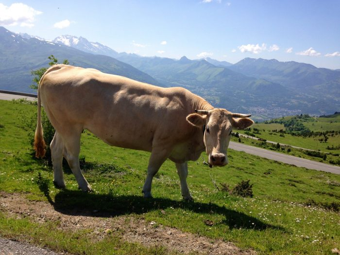 Pyrenees cows grazing by the mountain
