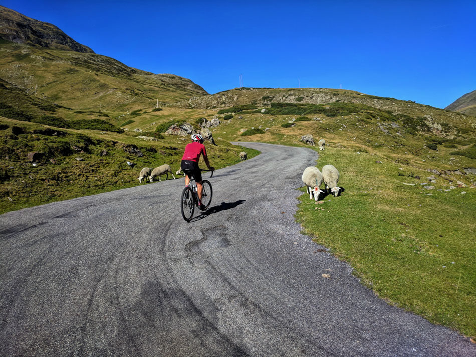 A cyclist passing sheep on the road to Cirque duu Troumouse