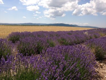 purple lavender blooming in a field in Provence