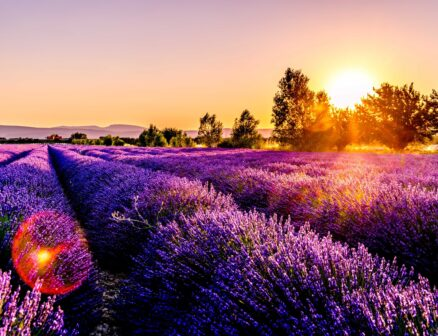 rays of sunshine on lavender fields in Provence