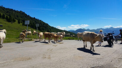 Cows on the road at the top of Col d'Aspin